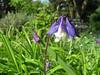 CKuchem-5909 (christine_kuchem) Tags: akelei blüte blüten garten insekten nahrung natur naturgarten nektar pflanze privatgarten schatten schattengarten selbstaussaat sommer wildpflanze blau lila naturnah natürlich wild zweifarbig