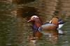 Mandarijneend (Wildlife and Landscape Photography) Tags: aixgalericulata mandarinduck mandarinente canardmandarin mandarijneend