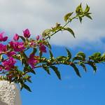 La Gomera (Spain's Canary Islands) - Flowers on the wall @ Playa de Santiago thumbnail