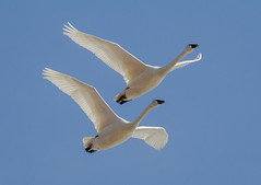 Tundra Swans (tresed47) Tags: 2018 201803mar 20180305middlecreekbirds birds canon7d content flightshot folder general lancastercounty march middlecreek pennsylvania peterscamera petersphotos places season swan takenby tundraswan us winter
