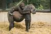 2018-01-19-14h02m59.BL7R8778 (A.J. Haverkamp) Tags: canonef100400mmf4556lisiiusmlens shae shindy amsterdam noordholland netherlands zoo dierentuin httpwwwartisnl artis thenetherlands gorilla sindy pobrotterdamthenetherlands dob03061985 pobamsterdamthenetherlands dob21012016 nl