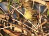 Palm Warbler 20180119 (Kenneth Cole Schneider) Tags: florida miramar westmiramarwca
