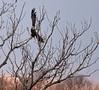 American Bald Eagle at sunset (Peeb-OK) Tags: nature wildlife bird eagle baldeagle tree lake nikon sunset