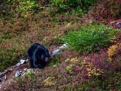A male black bear I encountered in the mountains last September in the North Cascades (plottsdaniel) Tags: evergreenstate washington seattle pnw northcascades nature nikkor nikon blackbear wildlife bear