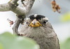 Wisdom First. (Omygodtom) Tags: wild wildlife sparrow asia fall leaf nikkor nikon70300mmvrlens vr wisdom d7100 dof portrait pov park explorer exotic eye bokeh bird tamron90mm tamron ngs ngc oaksbottom