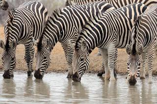 Zimbabwe Cape Buffalo Hunt 84