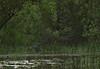 DSC_0513 (H Sinica) Tags: 贊比亞 zambia zimbabwe 津巴布韋 zambeziriver 贊比西河 blackheron 黑鷺 egret blackegret egrettaardesiaca