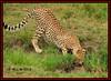 YOUNG CHEETAH CUB (Acinonyx jubatus).....MASAI MARA....SEPT 2017 (M Z Malik) Tags: nikon d3x 200400mm14afs kenya africa safari wildlife masaimara keekoroklodge exoticafricanwildlife exoticafricancats flickrbigcats cats cheetah ngc npc