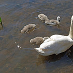 Mute Swan with chicks thumbnail