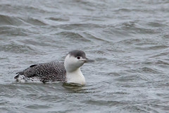 Red-throated Loon - Non-breeding (mattbpics) Tags: loon redthroatedloon canon 70d tamron 150600 150600mm longbeach stratford nature beach