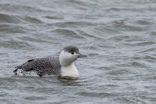 Red-throated Loon - Non-breeding