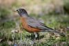 American Robin (jt893x) Tags: 150600mm americanrobin bird d500 jt893x nikon nikond500 profile robin sigma sigma150600mmf563dgoshsms songbird thrush turdusmigratorius coth thesunshinegroup alittlebeauty coth5