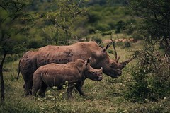 Like mother like calf (justingeyse28) Tags: southafrica hluhluwe canon canon1dx canon70200f28 africa rhino