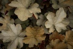 jdy147XX20170527a4615Bias-0.7 stops-2.jpg (rachelgreenbelt) Tags: ghigreenbelthomesinc usa eudicots greenbelt northamerica midatlanticregion ordersaxifragales familysaxifragaceae heucheraall maryland americas heuchera magnoliophyta saxifragaceae saxifragaceaefamily floweringplants oneplant saxifragales saxifragalesorder singleplantportrait spermatophytes
