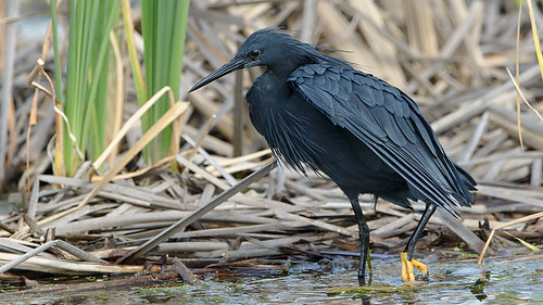 "Black heron, Egretta ardesiaca, at Marievale Nature Reserve, Gauteng, South Africa. • <a style=""font-size:0.8em;"" href=""http://www.flickr.com/photos/93242958@N00/40073706681/"" target=""_blank"">View on Flickr</a>"
