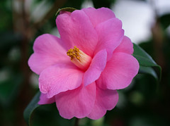 Kamelie (LuckyMeyer) Tags: botanical garden rosa pink green makro flower fleur blume blüte kamelie camellia
