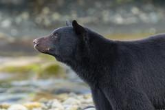 Profile of Daddy Long Legs (Melanie Leeson) Tags: canadianwildlife melanieleesonwildlifephotography mammals blackbear northamericanwildlife britishcolumbiawildlife blingsister dlonglegs z