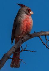 Pyrrhuloxia | San Pedro (sunrisesoup) Tags: bird arizona pyrrhuloxia sierravista red black january muse