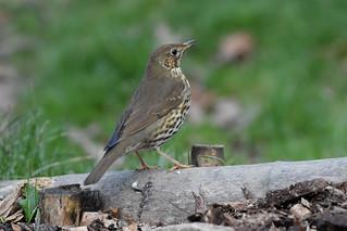 Song Thrush at Warnham Nature Reserve
