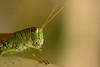 DSC_0165 (Hachimaki123) Tags: 日本 japan animal 動物 insect insecto saltamontes grasshopper バッタ 虫 nara 奈良 萬葉植物園 manyobotanicalgardens