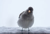 Are you talking to me? (Giloustrat) Tags: niverolle alpine alpes pentax k3 vanoise france birds