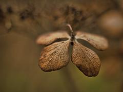 Vergaenglichkeit (lebastian) Tags: panasonic dmcgx8 olympus m1240mm f28 plants pflanzen macro bokeh