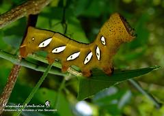 Eumorpha analis (Marquinhos Aventureiro) Tags: wildlife vida selvagem natureza floresta brasil brazil hx400 marquinhos aventureiro marquinhosaventureiro lagarta caterpillar sphingidae macroglossinae philampelini eumorpha analis