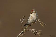 Common Redpoll - Grote Barmsijs - -5957 (Theo Locher) Tags: commonredpoll grotebarmsijs birkenzeisig sizerinflammé carduelisflammea birds vogels vögel oiseaux netherlands nederland copyrighttheolocher