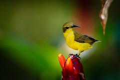 _D8A5584.jpg (Light Machinery) Tags: olivebackedsunbird cinnyrisjugularis