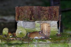 mouse at house  (1) (Simon Dell Photography) Tags: wood mouse garden wild life nature wildlife animal rodent brown small cute funny model house borrower cottage old english micro bird table modle night time sheffield shirebrook valley s12 simon dell photography