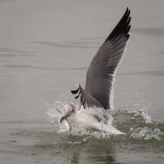 Laughing Gull Catches Fish (rlb1957) Tags: leucophaeusatricilla laughinggull sanibel island florida fish catch prey forage