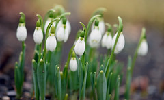 Snowdrops in the Rain (Lala Lands) Tags: snowdrops galanthus whitespringflowers earlyspringflowers capengarden smithcollege februaryshowersbringmarchflowers bokeh shallowdof nikkor105mmf28 nikond7200