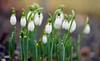 Snowdrops in the Rain (Lala Lands) Tags: snowdrops galanthus whitespringflowers earlyspringflowers capengarden smithcollege februaryshowersbringmarchflowers bokeh shallowdof nikkor105mmf28 nikond7200