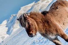 iceland-horses-single-2 (berkeleyhomes-dot-com) Tags: copyright2018iraserkes westernregion iceland is