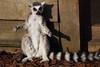 Deep breath...and relax (charliejb) Tags: ringtailedlemur ringtailed lemur wildplace bristol 2018 wildlife conservation madagascar fur furry furred primate mammal