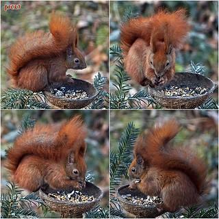 Eichhörnchen .....