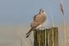 R18_6601 (ronald groenendijk) Tags: cronaldgroenendijk 2018 copyright falcotinnunculus rgflickrrg animal bird birds birdsofprey groenendijk kestrel nature natuur natuurfotografie netherlands outdoor ronaldgroenendijk roofvogels torenvalk vogel vogels