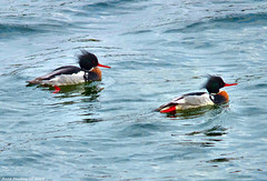 Scotland Greenock docks Red Breasted Mergansers 22 February 2018 by Anne MacKay (Anne MacKay images of interest & wonder) Tags: scotland greenock river clyde red breasted mergansers seabirds birds xs1 22 february 2018 picture by anne mackay