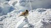 Observed (Nicola Pezzoli) Tags: dolomiti dolomites unesco val gardena winter snow alto adige italy bolzano mountain nature december ski bird birdwatching zoom col rodella fassa