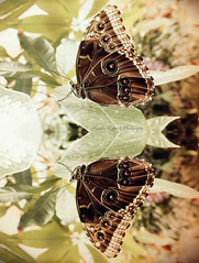 reflection. (Sandra Köppen | P H O T O G R A P H Y) Tags: bright beautiful beauty bokeh brown butterfly closeup cute colourful dreamy detail delicate earthy fairytale fragile feathery march green light leaf reflection macro nature still season simple sparkle soft serene saturday winter 2018