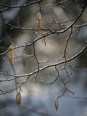 Quelques chatons * (Titole) Tags: catkins titole nicolefaton branches shallowdof