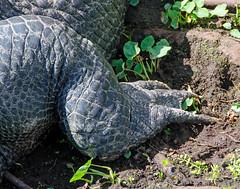 One Big Gator Claw DSC_0126_edited-1 (John Dreyer) Tags: americanalligator alligator claw nikon nikond5100 copyright2018johnjdreyer photocreditjohnjdreyer