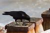 07_152133_0045_7D.jpg (Martin Alpin) Tags: crow groyne mussel