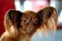 Why am I here ? (Carandoom) Tags: 2017 geneva switzerland animal portrait dog show chien