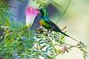 IMG_4297 Beautiful Sunbird, Gambia 09_11_2017 (Sugar Beet Pete) Tags: gambia bird sunbird beautifulsunbird nature