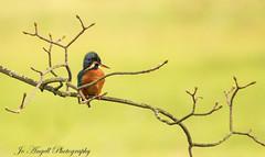 Little Miss Kingy (jo.angell) Tags: birds wildlife nature buckinghamshire kingfisher