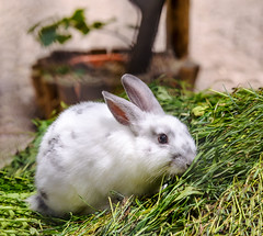 White rabbit (Maryna K.) Tags: nature rabbit bunny cute animal animalplanet
