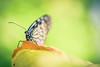 リュウキュウアサギマダラ / Ideopsis similis (March Hare1145) Tags: insect 虫 蝶 butterfly 日本 japan macro マクロ