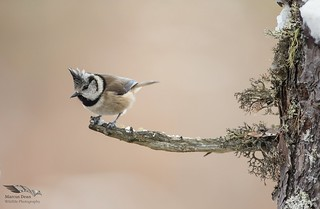 Crested tit, Cairngorms NP