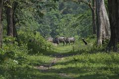 The Nameri wilderness (shaan2noo) Tags: nameri tezpur assam india wildbuffalo